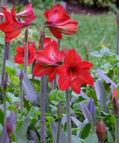 Fleur amaryllis amaryllis for Amaryllis fleurs